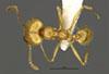 Media of type image, MCZ:Ent:34278 Identified as Pheidole midas type status Holotype of Pheidole midas. . Aspect: habitus dorsal