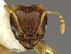Media of type image, MCZ:Ent:34290 Identified as Pheidole nasutoides type status Holotype of Pheidole nasutoides. . Aspect: head frontal view
