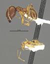 Media of type image, MCZ:Ent:34312 Identified as Pheidole paraensis type status Holotype of Pheidole paraensis. . Aspect: habitus lateral