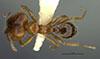 http://mczbase.mcz.harvard.edu/specimen_images/entomology/large/MCZ-ENT00034331_Pheidole_polymorpha_hada.jpg