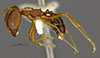 Media of type image, MCZ:Ent:34332 Identified as Pheidole portalensis type status Holotype of Pheidole portalensis. . Aspect: habitus lateral