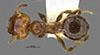 Media of type image, MCZ:Ent:34333 Identified as Pheidole potosiana type status Holotype of Pheidole potosiana. . Aspect: habitus dorsal