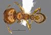 Media of type image, MCZ:Ent:34335 Identified as Pheidole prattorum type status Holotype of Pheidole prattorum. . Aspect: habitus dorsal