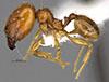 Media of type image, MCZ:Ent:34335 Identified as Pheidole prattorum type status Holotype of Pheidole prattorum. . Aspect: habitus lateral