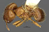 Media of type image, MCZ:Ent:34350 Identified as Pheidole rosula type status Holotype of Pheidole rosula. . Aspect: habitus dorsal