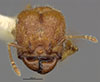 Media of type image, MCZ:Ent:34350 Identified as Pheidole rosula type status Holotype of Pheidole rosula. . Aspect: head frontal