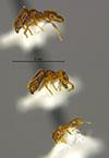Media of type image, MCZ:Ent:34356 Identified as Pheidole sagittaria type status Holotype of Pheidole sagittaria. . Aspect: habitus lateral view
