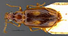 http://mczbase.mcz.harvard.edu/specimen_images/entomology/large/MCZ-ENT00034673_Dromius_hilaris_had.jpg