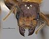 http://mczbase.mcz.harvard.edu/specimen_images/entomology/large/MCZ-ENT00034773_Azteca_merida_hef.jpg