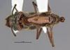 http://mczbase.mcz.harvard.edu/specimen_images/entomology/large/MCZ-ENT00034774_Azteca_petalocephala_had.jpg