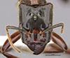 http://mczbase.mcz.harvard.edu/specimen_images/entomology/large/MCZ-ENT00034774_Azteca_petalocephala_hef.jpg