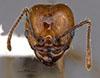 Media of type image, MCZ:Ent:35165 Identified as Pheidole hoelldobleri type status Holotype of Pheidole hoelldobleri. . Aspect: hefMajorMiddle