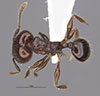 Media of type image, MCZ:Ent:35173 Identified as Pheidole petersoni type status Holotype of Pheidole petersoni. . Aspect: hadMajor