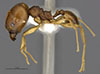 http://mczbase.mcz.harvard.edu/specimen_images/entomology/large/MCZ-ENT00035185_Pheidole_plato_hala.jpg