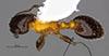 http://mczbase.mcz.harvard.edu/specimen_images/entomology/large/MCZ-ENT00035264_Leptothorax_emmae_had.jpg