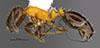 http://mczbase.mcz.harvard.edu/specimen_images/entomology/large/MCZ-ENT00035264_Leptothorax_emmae_hal.jpg