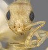 http://mczbase.mcz.harvard.edu/specimen_images/entomology/large/MCZ-ENT00035269_Leptothorax_liebi_hef.jpg