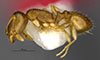 http://mczbase.mcz.harvard.edu/specimen_images/entomology/large/MCZ-ENT00035272_Leptothorax_melinus_hal.jpg
