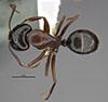 http://mczbase.mcz.harvard.edu/specimen_images/entomology/large/MCZ-ENT00035427_Camponotus_maritimos_had.jpg