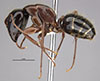 http://mczbase.mcz.harvard.edu/specimen_images/entomology/large/MCZ-ENT00035427_Camponotus_maritimos_hal.jpg