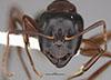 http://mczbase.mcz.harvard.edu/specimen_images/entomology/large/MCZ-ENT00035427_Camponotus_maritimos_hef.jpg