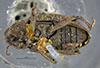 Media of type image, MCZ:Ent:35526 Identified as Cryptorhynchus obliquus. . Aspect: habitus dorsal view