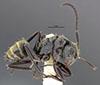 http://mczbase.mcz.harvard.edu/specimen_images/entomology/large/MCZ-ENT00035555_Camponotus_flavicomans_hal.jpg