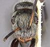 http://mczbase.mcz.harvard.edu/specimen_images/entomology/large/MCZ-ENT00035555_Camponotus_flavicomans_hef.jpg