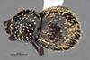 http://mczbase.mcz.harvard.edu/specimen_images/entomology/large/MCZ-ENT00035595_Theognete_broadheadae_had.jpg