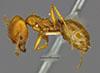 http://mczbase.mcz.harvard.edu/specimen_images/entomology/large/MCZ-ENT00035626_Pheidole_hyatti_hal.jpg