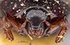 http://mczbase.mcz.harvard.edu/specimen_images/entomology/large/MCZ-ENT00035706_Hister_subrotundus_hef.jpg