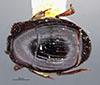 http://mczbase.mcz.harvard.edu/specimen_images/entomology/large/MCZ-ENT00035707_HIster_vernus_had.jpg