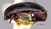http://mczbase.mcz.harvard.edu/specimen_images/entomology/large/MCZ-ENT00035707_HIster_vernus_hal.jpg