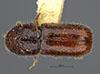http://mczbase.mcz.harvard.edu/specimen_images/entomology/large/MCZ-ENT00035805_Pityogenes_lecontei_had.jpg