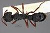 http://mczbase.mcz.harvard.edu/specimen_images/entomology/large/MCZ-ENT00035824_Bothroponera_umgodikulula_had.jpg