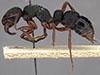 http://mczbase.mcz.harvard.edu/specimen_images/entomology/large/MCZ-ENT00035824_Bothroponera_umgodikulula_hal.jpg
