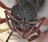 http://mczbase.mcz.harvard.edu/specimen_images/entomology/large/MCZ-ENT00035824_Bothroponera_umgodikulula_hef.jpg