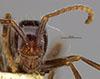 http://mczbase.mcz.harvard.edu/specimen_images/entomology/large/MCZ-ENT00035830_Eciton_melanocephalum_hef.jpg