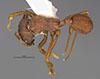 http://mczbase.mcz.harvard.edu/specimen_images/entomology/large/MCZ-ENT00035831_Trachymyrmex_carinatus_had.jpg