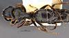 http://mczbase.mcz.harvard.edu/specimen_images/entomology/large/MCZ-ENT00035832_Trachymyrmex_carinatus_had.jpg