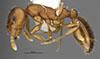http://mczbase.mcz.harvard.edu/specimen_images/entomology/large/MCZ-ENT00035851_Leptothorax_fragosus_hal.jpg