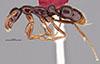 http://mczbase.mcz.harvard.edu/specimen_images/entomology/large/MCZ-ENT00035859_Leptogenys_toxeres_hal.jpg