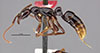 http://mczbase.mcz.harvard.edu/specimen_images/entomology/large/MCZ-ENT00035860_Leptogenys_nigricans_hal.jpg