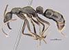 http://mczbase.mcz.harvard.edu/specimen_images/entomology/large/MCZ-ENT00035861_Leptogenys_chamela_hal.jpg
