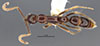 http://mczbase.mcz.harvard.edu/specimen_images/entomology/large/MCZ-ENT00035863_Leptogenys_kiche_had.jpg