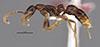 http://mczbase.mcz.harvard.edu/specimen_images/entomology/large/MCZ-ENT00035863_Leptogenys_kiche_hal.jpg