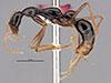 http://mczbase.mcz.harvard.edu/specimen_images/entomology/large/MCZ-ENT00035865_Leptogenys_pinna_hal.jpg