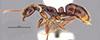 http://mczbase.mcz.harvard.edu/specimen_images/entomology/large/MCZ-ENT00035866_Leptogenys_santacruzi_hal.jpg