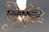 http://mczbase.mcz.harvard.edu/specimen_images/entomology/large/MCZ-ENT00035867_Leptogenys_pittieri_had.jpg