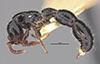 http://mczbase.mcz.harvard.edu/specimen_images/entomology/large/MCZ-ENT00036100_Cerapachys_wheeleri_hal.jpg
